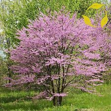 NORTHERN REDBUD Cercis Canadensis - 20+ SEEDS. Free S&H
