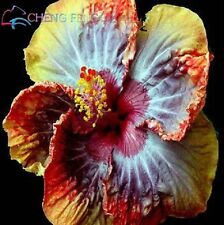 Exotic Giant Hibiscus Flower Seeds Garden & Home Perennial Flower-50pcs