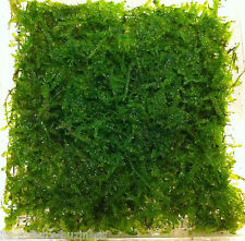 Vesicularia Montagnei Christmas Xmas Moss 4x3 cm Pad Plants jave co2
