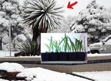 winterhärteste Palme der Welt - Mazaripalme aus Asien / bis -26 frosthart /Samen