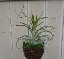 """Air Plant Basket Kit-5"""" Plant Basket With Moss Rim, Air Plants and Accessories"""