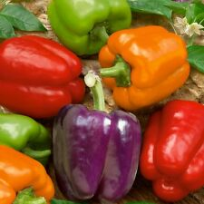 PIMIENTO COLORES  bell mix pepper 60 semillas / seeds