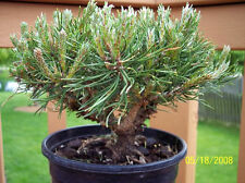 MUGO PINE Dwarf Evergreen Shrub Pinus Pumilio Tree Seeds( pack of 5 Nos.) T-053