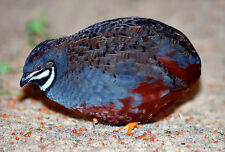 12 Chinese Painted Quail Eggs  (American Bloodlines)