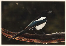 MAGPIE ESTONIAN UNUSED POSTCARD IN MINT CONDITION