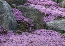 Creeping Thyme 400 Seeds Beautiful Carpet of Purple Flowers and lemony fragrance