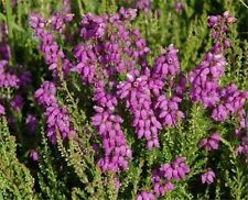 Heather - Calluna Vulgaris - 1 Pkt of 200 seeds - Shrub - Groundcover