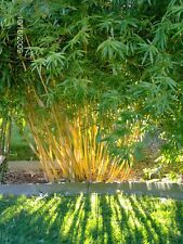 100+ fresh Bamboo Seeds with instructions - Fargesia / Borinda Fungosa