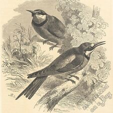 Bee-eaters: antique 1866 gravure print: oiseau photo animal dessin art nature
