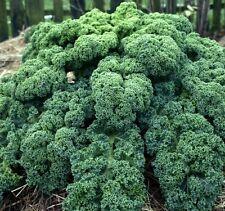 Kale Blue Curled Scotch 500 seeds * Non GMO * ez grow *#1E62#