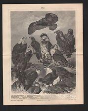 Lithografie 1905: ADLER. Harpyie Steinadler Fischadler Hauben-Seeadler