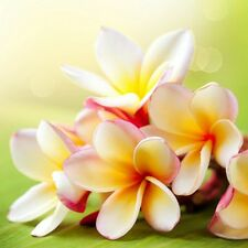4 oz. Sun Kissed Plumeria Fragrance Oil for Candle and Soap Making