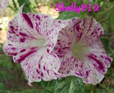 Kikyo Red Speckled - Picotee Japanese Morning Glory Seeds - ipomoea Nil - RARE!