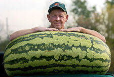 Giant Watermelon Fruit Seeds - HUGE 200 lbs, Home gardening