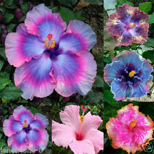 100 SEEDS - MIX Rare Tropical Hibiscus Seeds flower plant seeds
