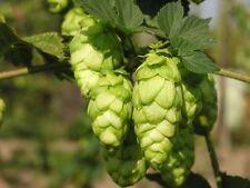 15 semi HUMULUS LUPULUS - Luppolo pianta della birra