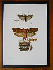 VINTAGE PRINT OF SNOUT MOTHS EDUCATIONAL SCHOOL CHART -  WAX MOTH & FLOUR MOTH