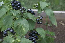 Solanum melanocerasum, amerikanische Heidelbeere, 20 Samen, 20 seeds