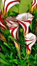 Oxalis Versicolor Grannd Duchess X 5 Candy Cane, CHRISTMAS Shamrock NOW IN