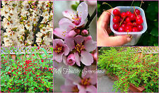 "SEEDS - Sweet Nanking Cherry ""Prunus tomentosa"" Beariing 12-15 lbs per bush!"