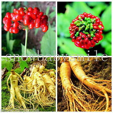 50 Chinese / Korean Panax Ginseng Seeds Hardy Rare Wild With Growing Instruction