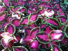 """COLEUS - CHOCOLATE COVERED CHERRY - 2 LIVE PLANTS - 3"""" POTS - SEE SHIP DATE"""