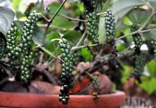 LIVE HEALTHY BLACK PEPPER BUSH PLANT FLOWERING SIZE FOR AN AN ORGANIC HOME MADE