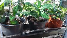 Coffee plants 5-7 inches tall