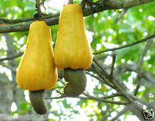 Cashew Nut Apple Seeds, Anacardium Occidentale, Tropical Plant Tree  ~ 5 Seeds