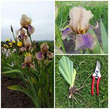 Iris germanica 'Benton Olive' -  Tall Bearded Iris  - Very Rare Hardy Perennial
