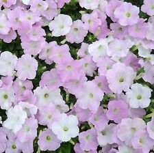 ~  Wave MISTY LILAC  *  Trailing Petunia *  20 Pelleted Seeds