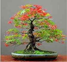100% True China Red Maple Bonsai Tree Cheap Seeds, Professional Pack, 20 Seeds /