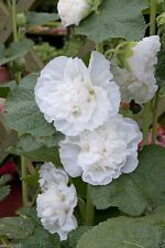 "30 Hollyhock seeds - ALCEA rosea plena Chaters-Series ""white"" Hard to find color"