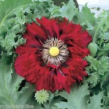 "25 Seeds ""SCARLET RED"" Peony Poppy Flaming Red Fresh Flower Seeds"