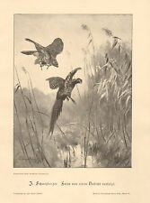 Hawk, Attacking Pheasant, Birds, Nature, Vintage 1899 German Antique Art Print