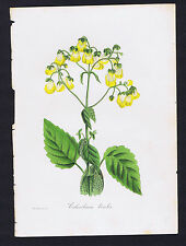 Calceolaria bicolor, Two-Colored Slipperwort, Joseph Paxton 1834 Mag. of Botany