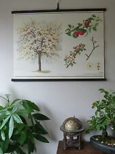 VINTAGE BOTANICAL SCHOOL PULL DOWN CHART OF AN APPLE TREE PAPER ON CANVAS cz8