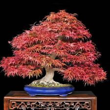 Japanese Purple Maple - Acer Palmatum Atropurpureum - 10 seeds - Bonsai - Tree