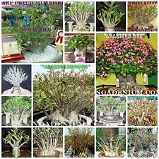 ADENIUM ARABICUM MIXED / ASSORTED 100 SEEDS #6  FRESH RARE NEW FREE SHIPPING