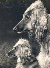 AFGHAN HOUND CHARMING DOG GREETINGS NOTE CARD BEAUTIFUL DOG AND PUP