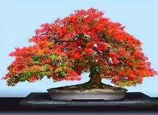 Red Royal # Poinciana Delonix Regia Tropical Flamboyant Tree Seeds (10Nos) T-026