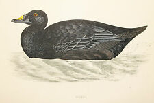 Scoter Duck, Antique Bird Print by Rev. F.O. Morris (ref:192)