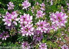 Crown Vetch Seeds for Wildlife Food Plots & Soil Erosion Control 1 lb Fast Ship