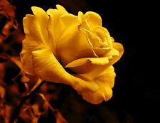 70pcs Golden Rose Semillas De Flores --- Rara Y Hermosa * vendedor Reino Unido *