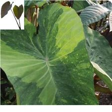 "Colocasia plant ""Limeade"" elephant ear NEW"