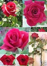 3 Nice cuttings Rare - Long Stem Red Rose ( Thornless Rose) Grow from cuttings