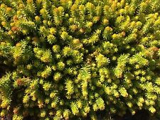 ~GORGEOUS~ 10 rooted succulent Sedum Angelina groundcover plants sempervivum