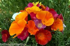 California Poppy Seeds -  Mixed Colours - 20 Seeds Pack