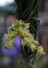 Chilochista parishii orchid species RARE FRAGRANT