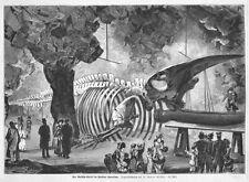 Walfang, Wale, Ausstellung Wal-Gerippe in Berlin, Original-Holzstich von 1883